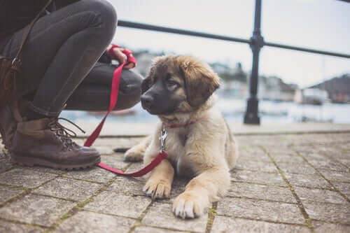 A Leonberger puppy dog on a leash.