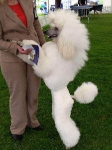 A poodle standing up.