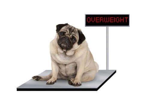 An overweight dog on a pair of scales
