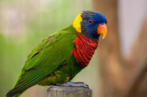 A colourful parrot bird staring at the camera.