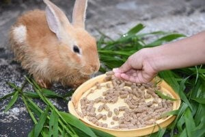 A rabbit eating pellets.