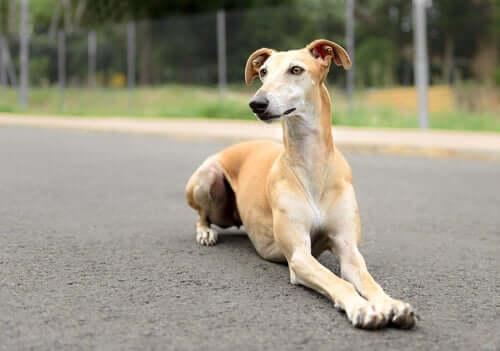 A Spanish Greyhound.