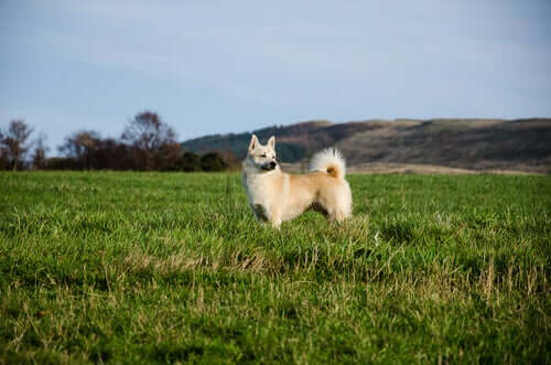 A Norwegian Buhund in a field.