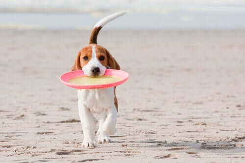 A dog walking on the beach with a frisbee in their mouth.