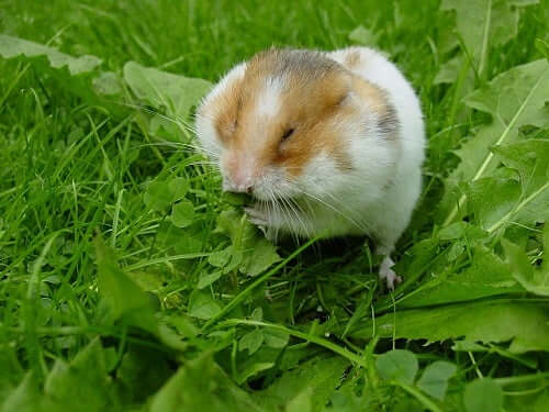 The Most Common Hamster Illnesses