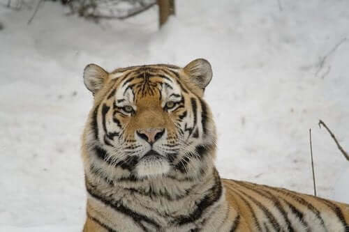 The Siberian Tiger: A Great Hunter in Danger of Extinction