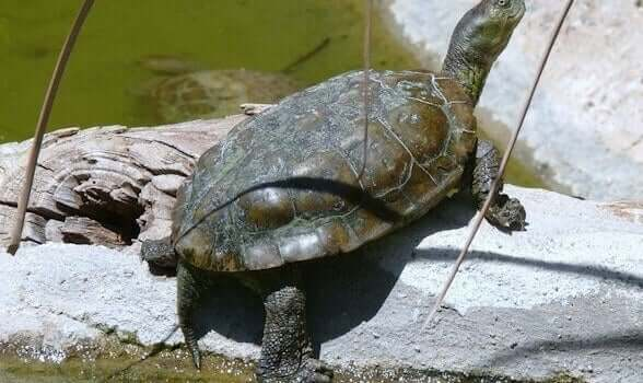 A spanish pond turtle, which is one of the Turtles in Spain.