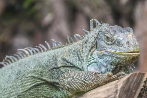 An iguana as a pet on a branch.