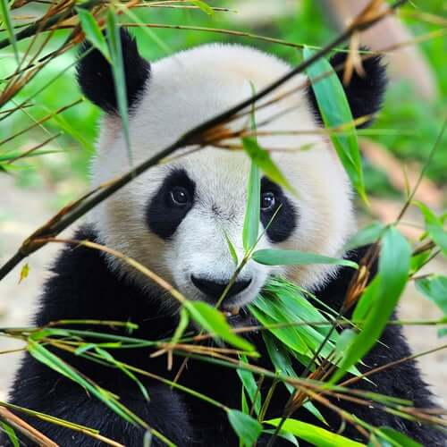 The panda looking at the camera through the leaves.