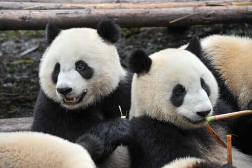 The Panda: Characteristics, Behavior and Habitat