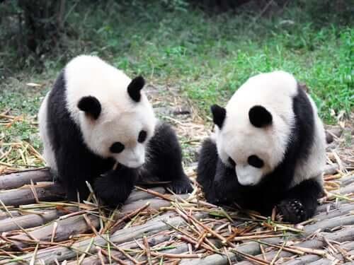 Two pandas sitting down eating bamboo.