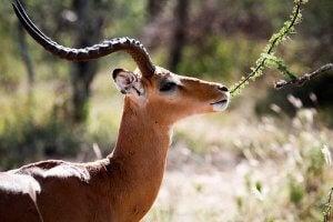 The Gazelle.