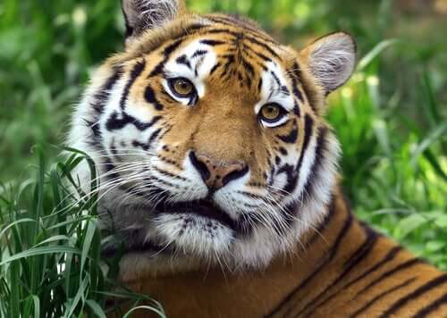 A tiger in the wild.