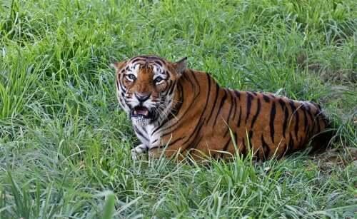 The Bengal Tiger: Characteristics, Behavior, and Habitat