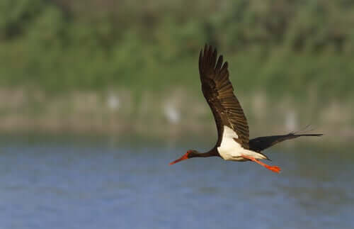 A black stork flying over a river.