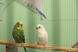 A pair of parakeets.