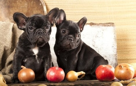 Bulldog puppies next to some apples.