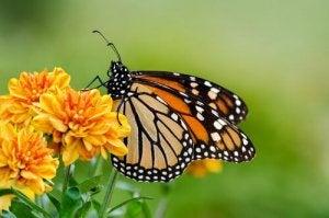 Breeding butterflies.