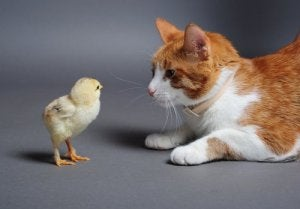 A cat and a chick.