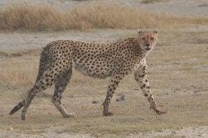 A cheetah walking.