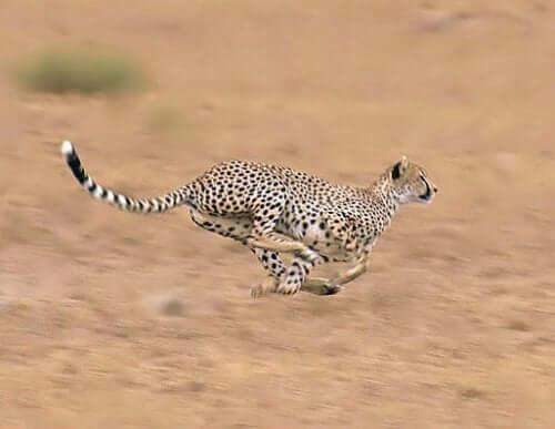 The Cheetah: Habitat, Characteristics and Behavior