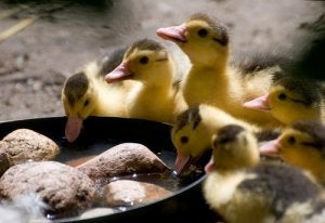 Some ducklings.