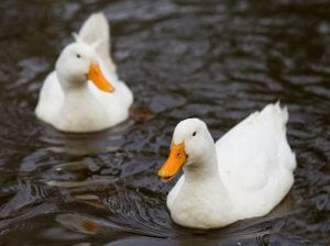 Two ducks swimming.