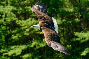An eagle flying.