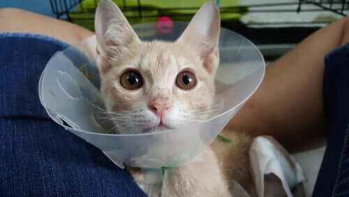 A cat using a recovery collar.