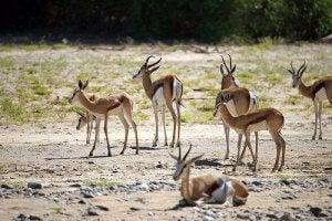 A herd of Thomson's gazelle.