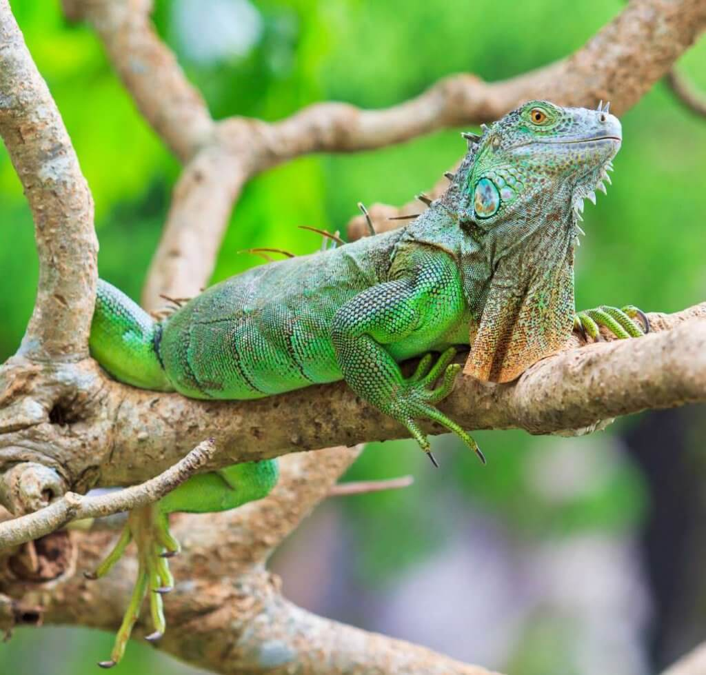 Everything You Need to Know About Basic Iguana Care