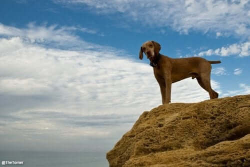 A Hungarian Vizsla standing on a rock.