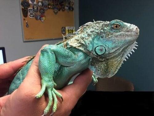 Keeping an Iguana as a Pet
