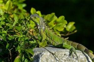 A green iguana.