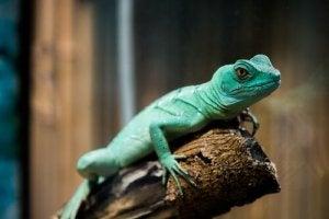 A lizard on a branch.