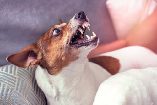 A dog showing his teeth.