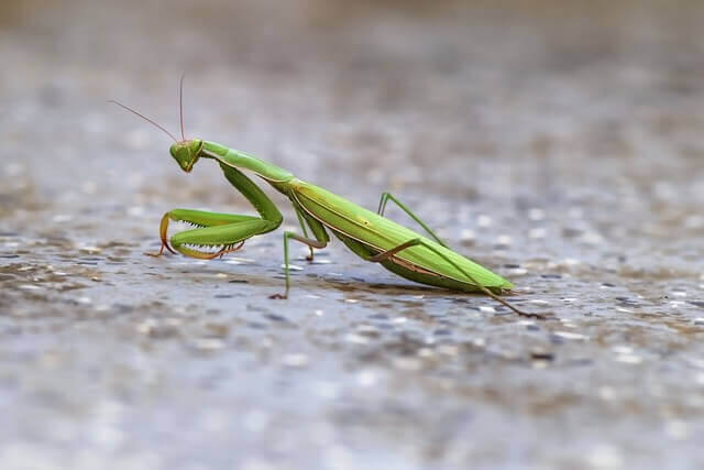 A praying mantis walking on the ground.