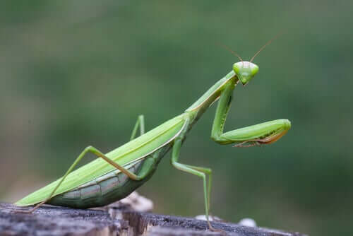 The Praying Mantis: Characteristics, Behavior, and Habitat