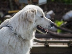 The Great Pyrenees.