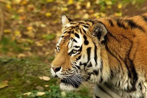 A Siberian tiger in the woods.