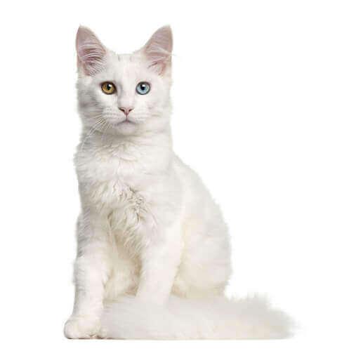 A deaf white cat.