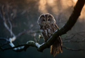 Nocturnal raptors - the tawny owl.