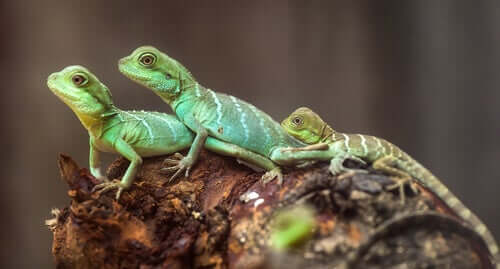 The Pros and Cons of Keeping Lizards as Domestic Pets