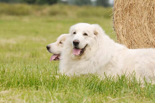 All About The Pyrenean Mountain Dog