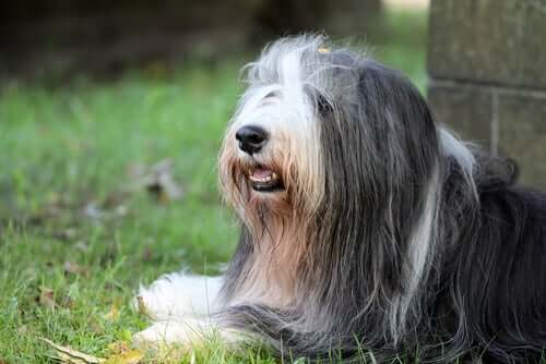 The Bearded Collie - A Scottish Shepherd Dog