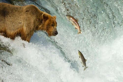 A bear trying to catch some salmon.
