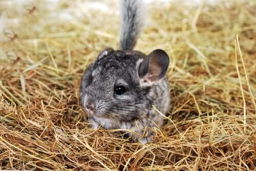 A chinchilla, which is one of the pets that live the longest.