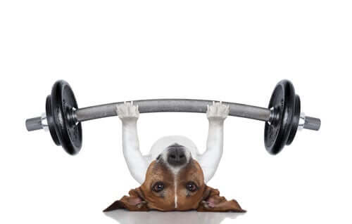 A dog lifting weights.
