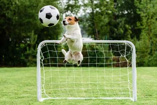 A dog playing soccer.