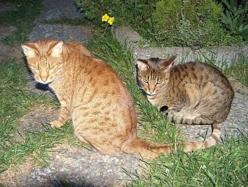 The ocicat and his partner.